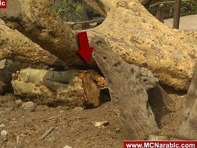 В Каире исламисты срубили «Дерево Марии»