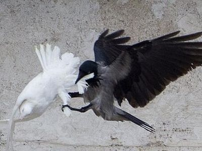 Ill omen? Pope's doves of peace for Ukraine attacked by angry birds