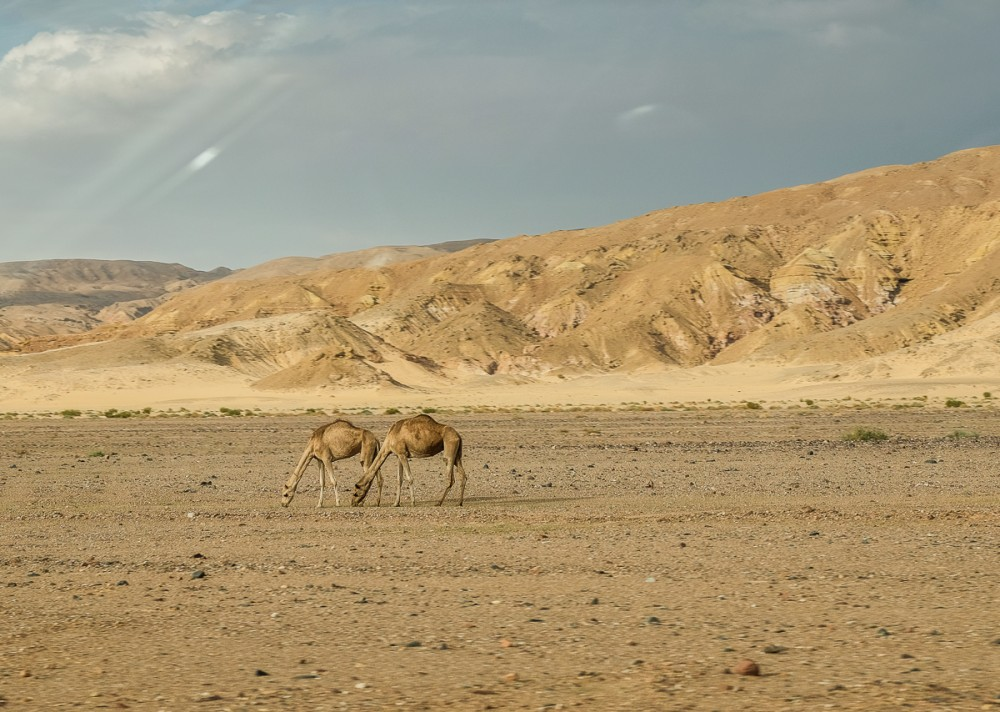 "The desert's ""ships"", that is, camels"
