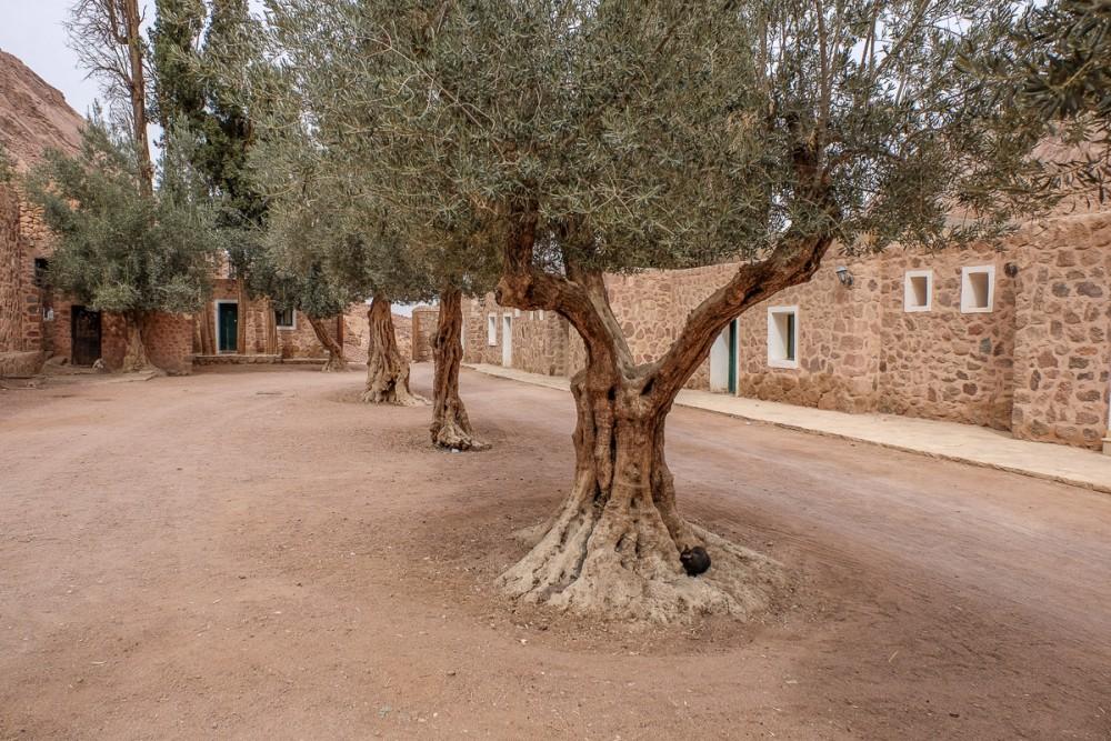 Оливы – монастырское богатство