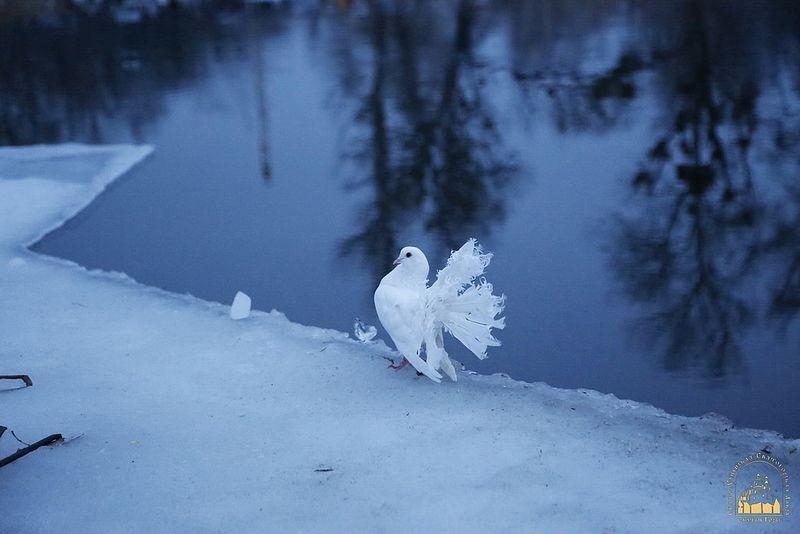 A dove in Svyatogorsk Lavra.
