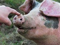 Слово о свиньях